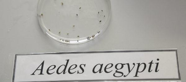Aedes-235